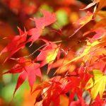 紅葉と黄葉の違い、赤色や黄色に色づくしくみとは?