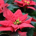 ポインセチアの花言葉とは? クリスマスに使われる理由・由来
