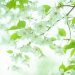 2017年度の桜開花予想・満開予想!チェックはココで!