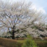 岡山の「醍醐桜」。2017年の見頃や見どころは?一本桜の由来もご紹介!