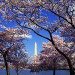 ワシントンD.C.の全米桜祭り!2017年の日程と見どころは?