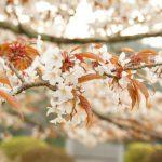大阪造幣局の桜の通り抜け。2017年の日程と見どころは?