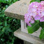 鎌倉長谷寺に咲くあじさい。2017年の開花や見頃はいつ?