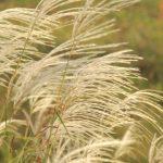 秋の七草の種類と分かりやすい覚え方。春の七草との違いは?