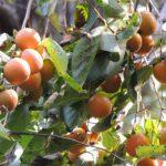 苦い渋柿を甘くする方法とは?柿に含まれる栄養効果もご紹介!
