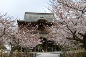 kamakurasakura1