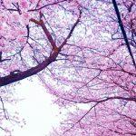 静内二十間道路桜並木、2017年の開花予想や見頃は?