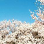 信州伊那・高遠城址公園の桜、2017年の開花予想と見頃は?