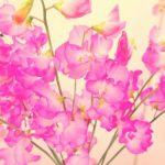 スイートピーの花言葉は何?咲く季節と名前の由来も紹介!