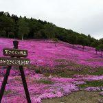 まるで桜のジュータン!北海道の芝桜の見頃とおすすめの名所は?