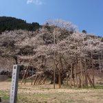 岐阜・根尾谷の淡墨桜、2017年の開花時期と見頃は?