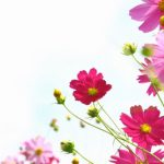 淡く可憐なコスモスの花言葉とは?開花時期や色による違いもご紹介!