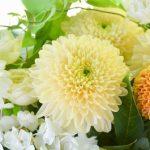 色により違う!「菊」の花言葉とは?プレゼントに贈ってもいいの?