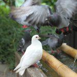 鳩が平和の象徴と呼ばれている理由は?他にも平和の象徴といえば何がある?