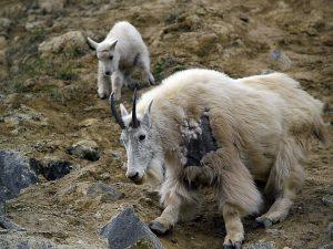 カシミヤ山羊