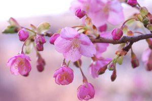 河津桜の写真【1】