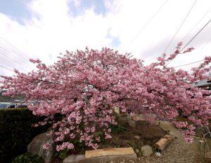 河津桜の写真【3】