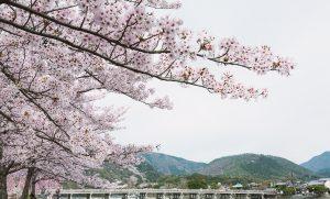 arashiyamasakura1