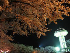 夜のライトアップされた桜
