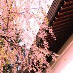 角館の桜2017年の開花と見頃は?ライトアップした夜桜は必見!