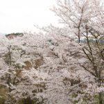 奈良、吉野山の桜。2017年の開花予想・見頃は?