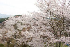 吉野山の桜1