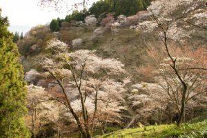 吉野山の桜3