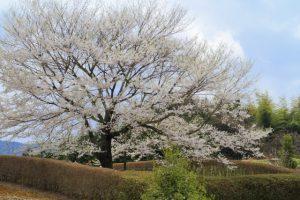 醍醐桜の姿
