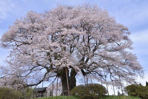 醍醐桜の巨木