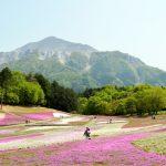 秩父、羊山公園の芝桜!2017年の見頃や開花状況は?