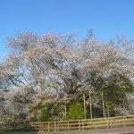 熊本の「一心行の大桜」。2017年の見頃と開花予想!