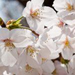相模原市民桜祭り2017年の開催日や見どころは?