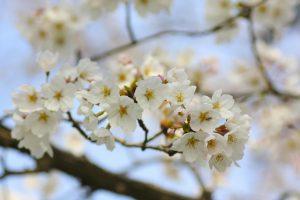 桜の木に咲いた花