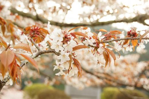 きれいに色づく桜