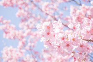ピンクのきれいな桜