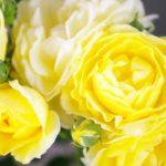 父の日に贈るバラの由来と花言葉の意味。何色がおすすめ?