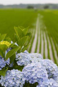 畑に咲くあじさい