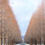 美しい滋賀のメタセコイア並木の紅葉。2017年の見頃はいつ?