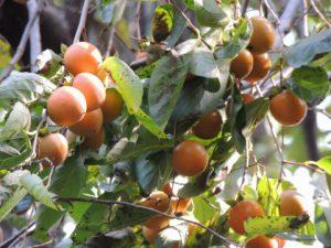 木にある柿