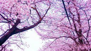 空を見上げる桜