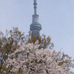 東京・隅田公園の桜、2017年の開花予想と見頃は?