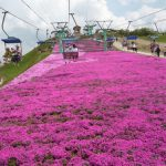 天空の花回廊、茶臼山高原の芝桜。2017年の見頃は?