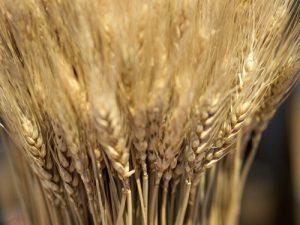 glutinouswheat2