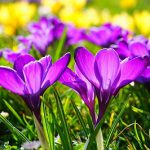 早春に咲くクロッカスの花の由来とは?色による花言葉の違いは何?