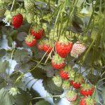春が旬の果物には何がある?気になる栄養素やおすすめレシピも紹介!