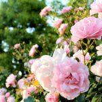 梅・桃・桜の違いと見分け方。それぞれの開花時期はいつごろ?