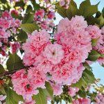 桜の種類はどれぐらいの数あるの?有名なサクラの品種は?