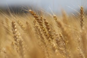 稲が風にまびく