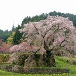 奈良大宇陀の「又兵衛桜」。2017年の開花時期と見頃は?