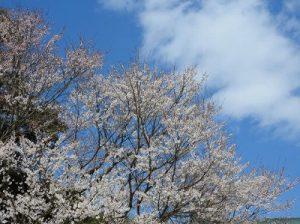 根尾谷の淡墨桜1